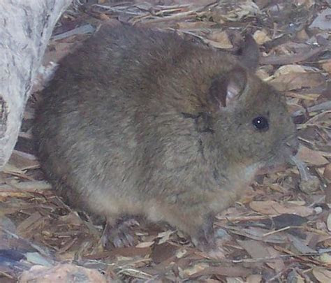 File:Greater Sticknest Rat   Wikimedia Commons