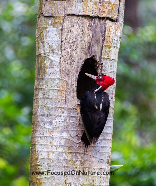 Pale-billed Woodpecker