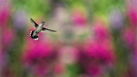 wallpaper bird hummingbird humming bird colorful blur