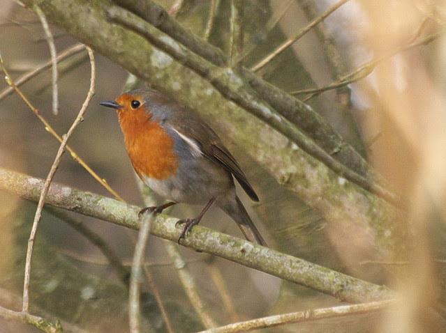 DSC_3688 Robin