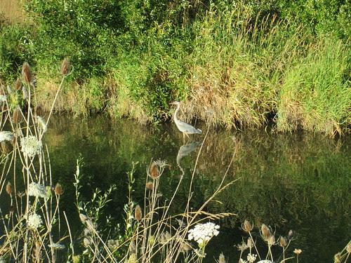Heron along the Fern Ridge Trail