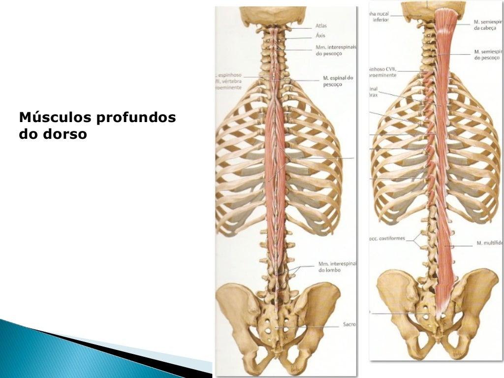 Músculos do Dorso                 Músculos transversoespinhais                         Camada Profunda MenorMúsculo       ...