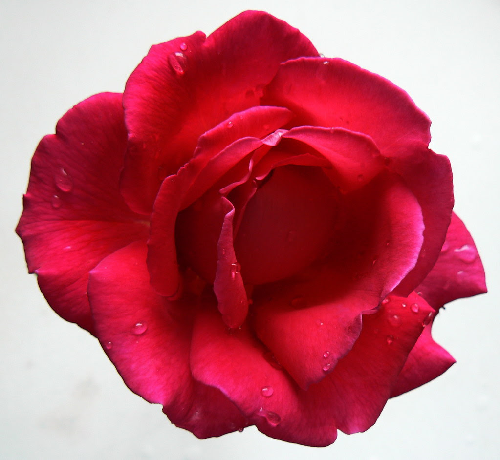 Red rose III