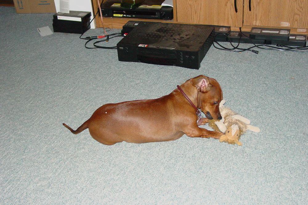 23+ Weiner Dog Chihuahua Mix
