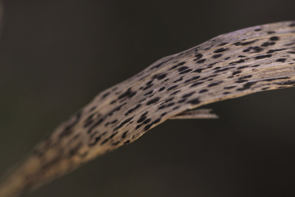 spotted grass