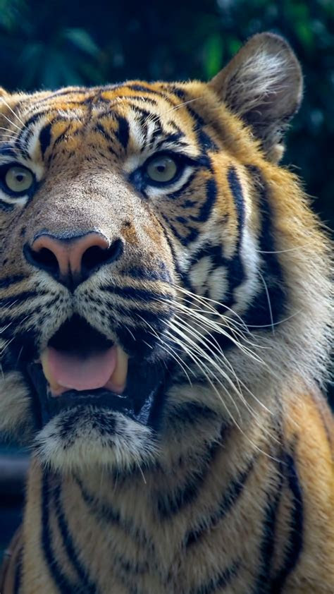 wallpaper tiger  hd wallpaper sumatran amazing eyes