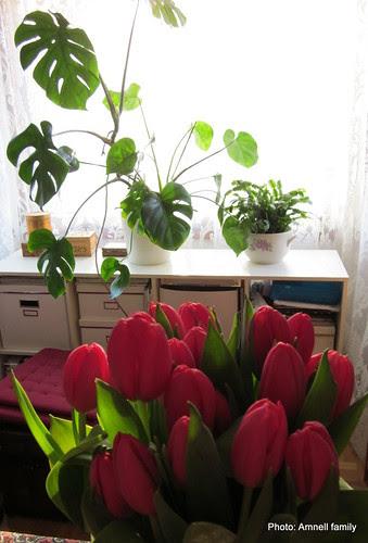 punaiset tulppaanit