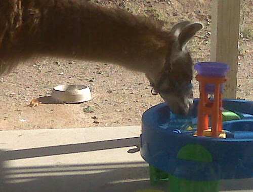 Quechua sips from a neighbor's water toy