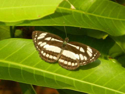 Sommon Sailor Butterfly