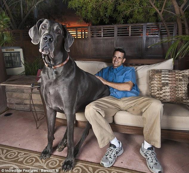 Anjing Terbesar Di Dunia.
