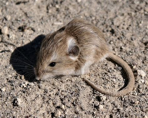 The desert mouse (Pseudomys desertor) is a species of rodent in the family Muridae. It is found