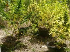 Plantação foi encontrada em fazenda na Bahia (Foto: Divulgação / Polícia Civil)