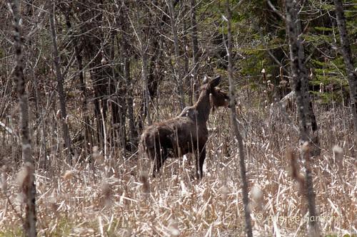 Runaway Pond Moose  -13.jpg