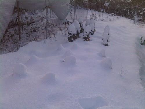 Allotment snow Jan 10 no 4