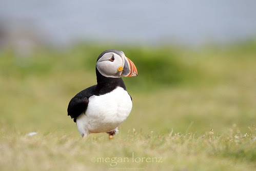 Atlantic Puffin by Megan Lorenz