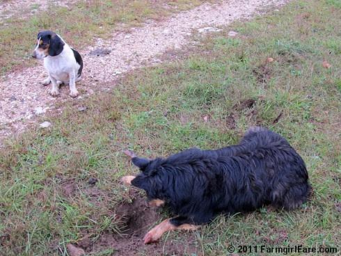 Bear on the mole patrol with bored beagle and sheep backup 2 FarmgirlFare.com