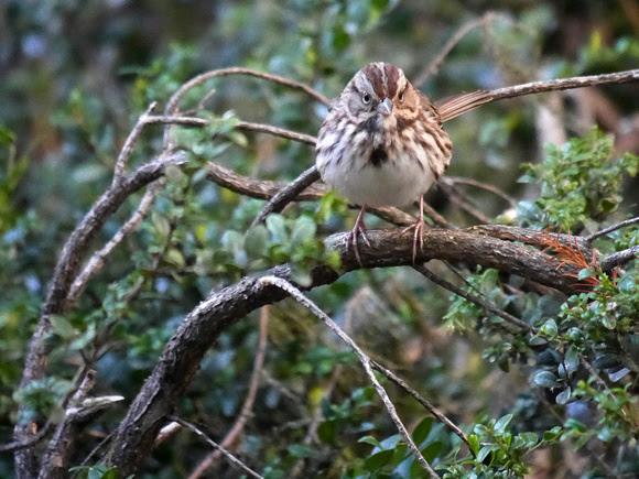 Ed Gaillard: birds &emdash; Song Sparrow, International Paper Plaza