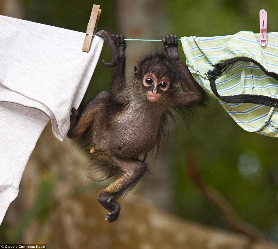 Hanging out: This orphaned Central American spider monkey (Ateles geoffroyi) lives in the workers camp of the El Mirador archaeological site and was snapped as he clung to a washing line with a vacant stare in his eyes