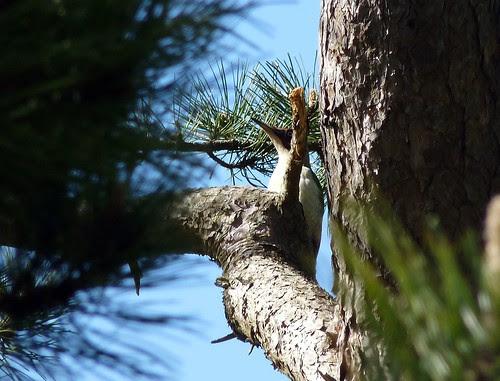12453 - Green Woodpecker, Pontarddulais