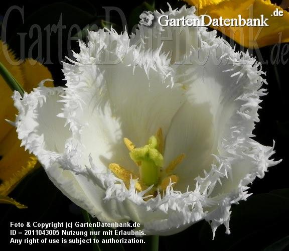 Tulipa Crispa weiß