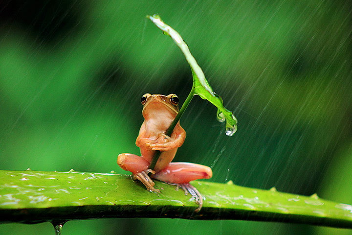 20 Photos: A tree frog clutches a leaf angled towards the rain in Jember, East Java