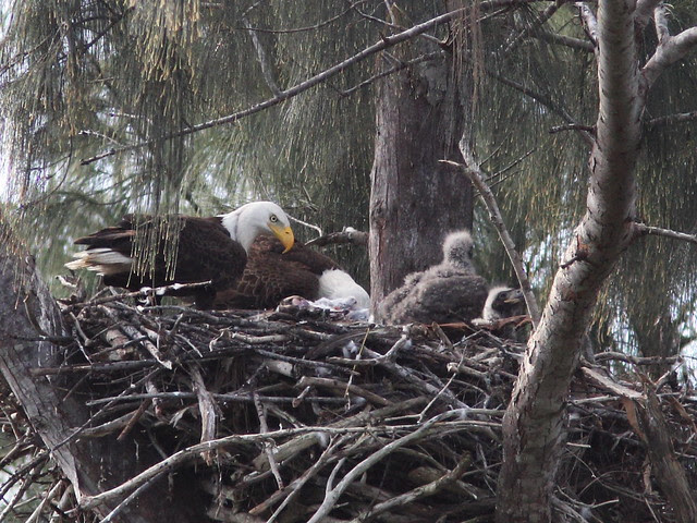 Bald Eagle male returns to nest 20140205