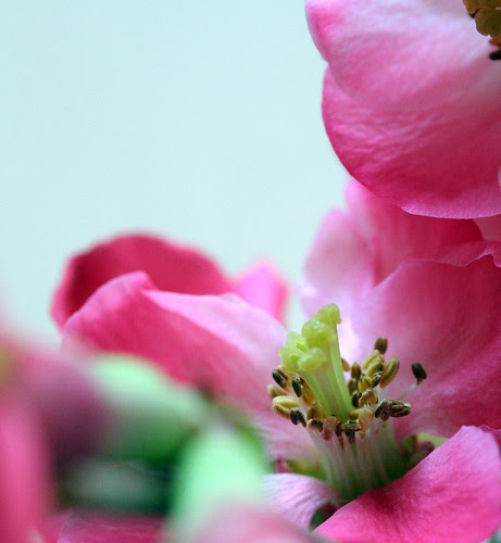 quince up close
