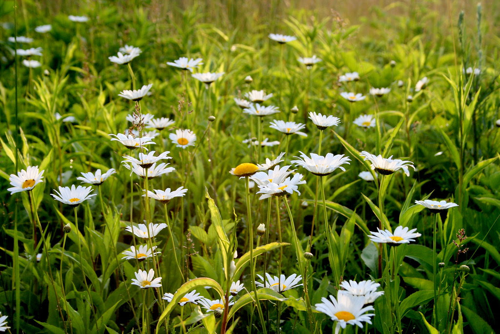 Daisies are here! :)