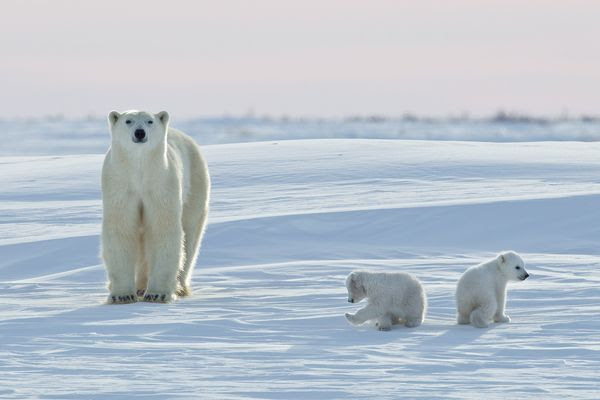 polar-bear-migration