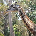 San Diego - Giraffe