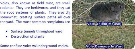 How to Get Rid of Voles in the Yard, Garden, or House   Field Mouse