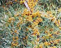 Havtornsbuske på Söderåsen