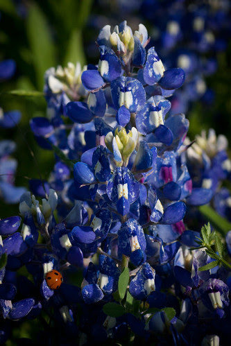 lady bug blue
