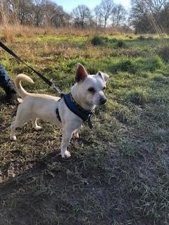Hugo – 11 month old male Jack Russell Terrier cross Chihuahua