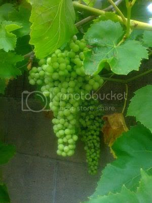 Grapes growing in the backyard