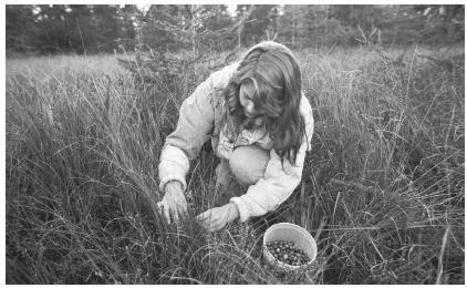 Many Icelandic Americans work on farms or in rural communities. This woman is picking cranberries.