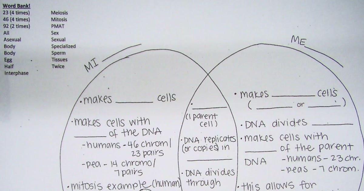 Mitosis And Meiosis Worksheet Answer Key - worksheet
