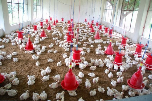Poultry farming for broiler chicken