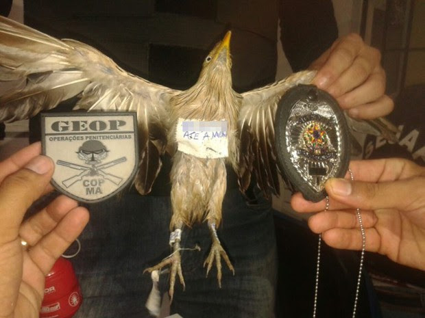 Pássaro é interceptado com droga presa na pata em presídio do MA (Foto: GEOP/Divulgação)