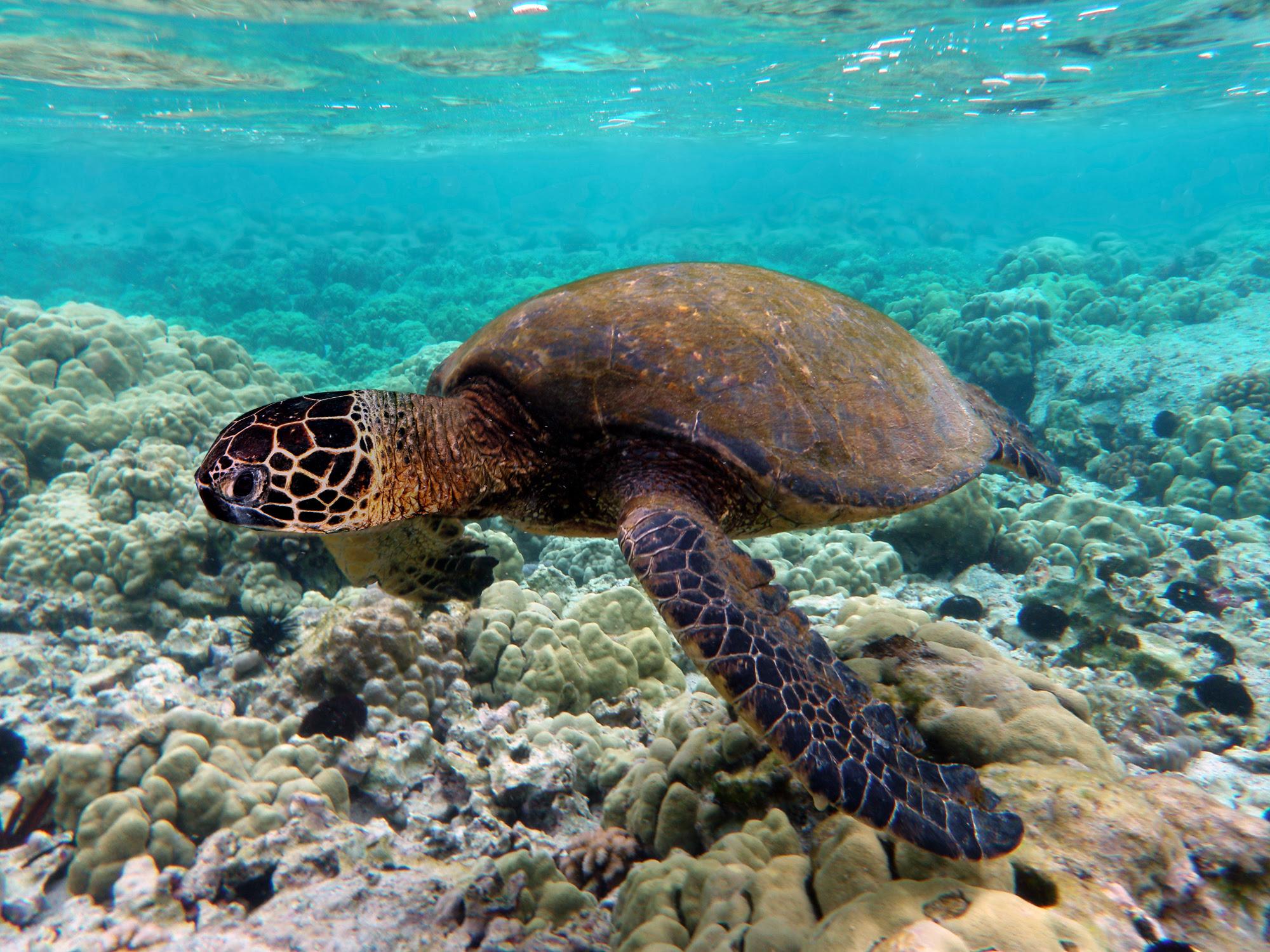 Tortuga verde en los arrecifes de la isla de Kona