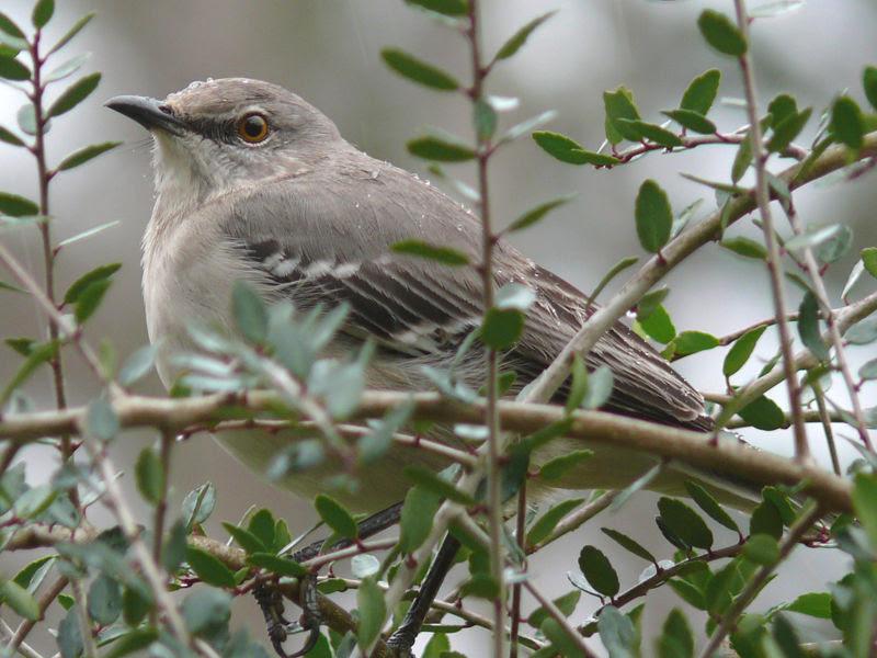File:Northern Mockingbird USA.jpg