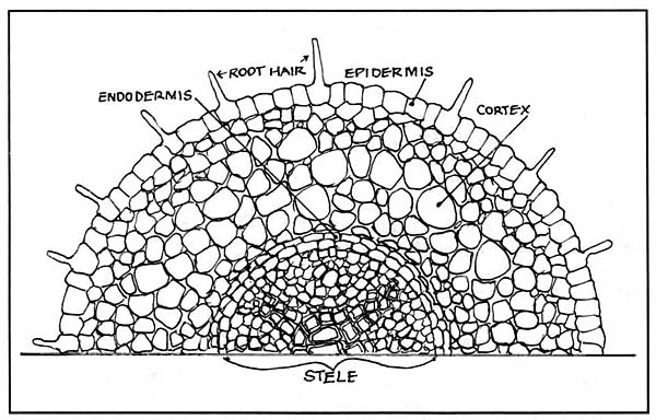 crosssection of a nonmycorrhizal root
