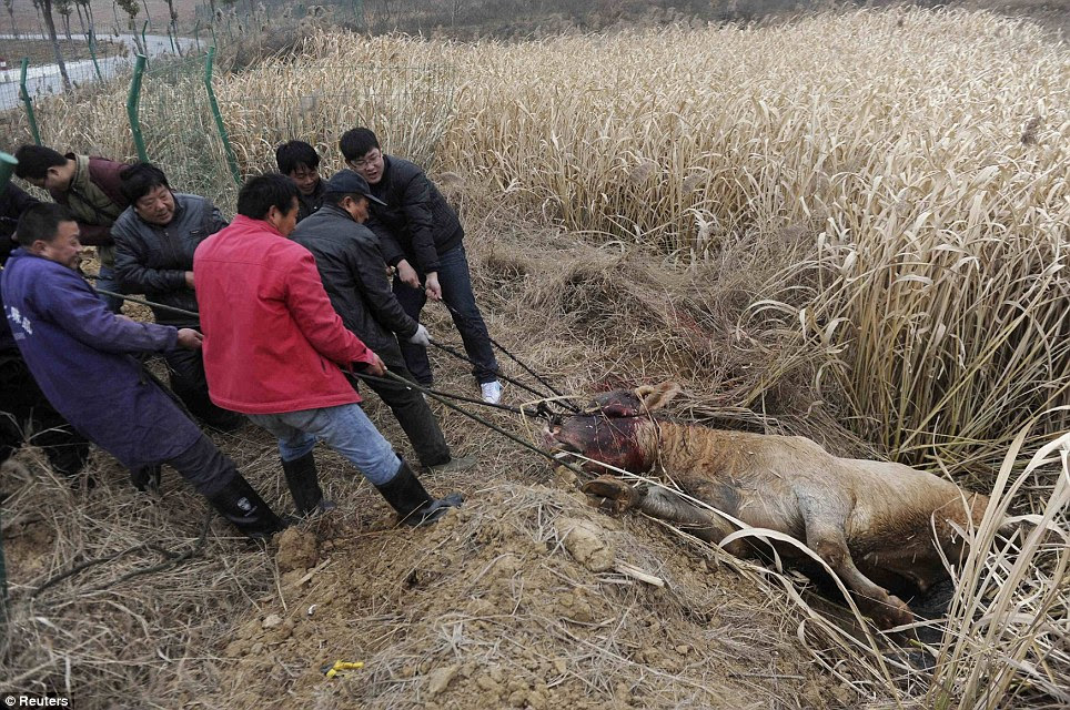 Dead: Farmers pull out the carcass of a cow which escaped from a truck and was killed by policemen after it attacked a farmer