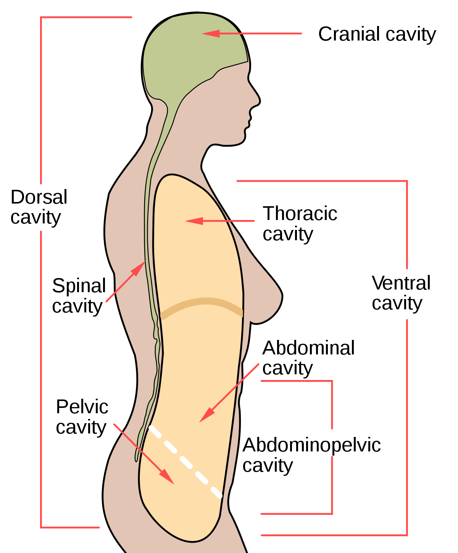 Cranial Cavity Location