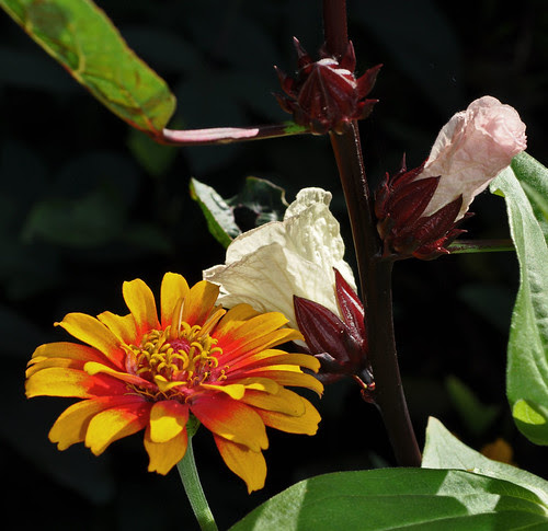Zinnia elegans 'Zowie' and Hibiscus sabdariffa