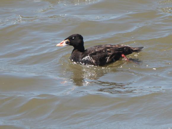 Ed Gaillard: birds &emdash; Surf Scoter, Governor's Island