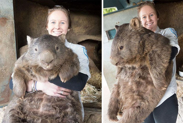 1 - A Full Grown Wombat