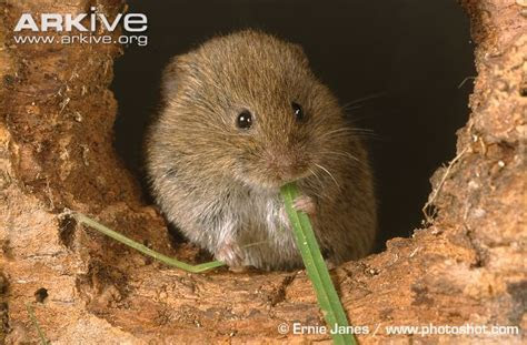 The Sage Butterfly: The Vole in the Garden: Control Methods