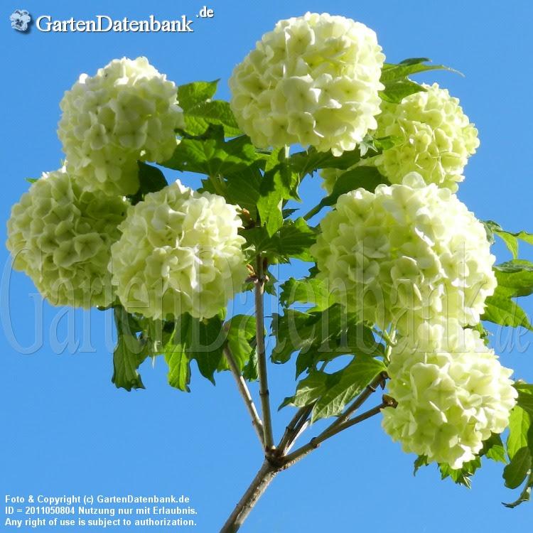 Schneeball (Viburnum opulus Roseum)