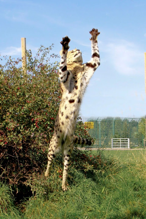 сервал в прыжке. фото